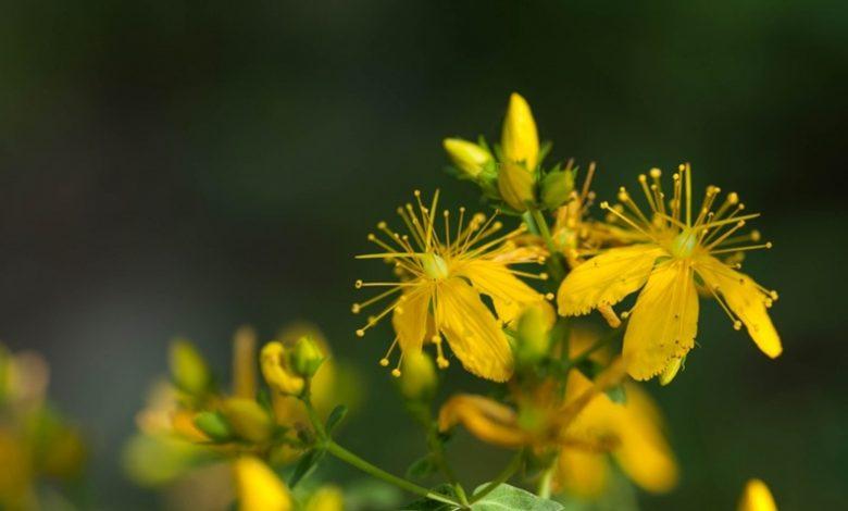 sarı kantaron yağının faydaları